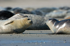 Baby and adult seal Royalty Free Stock Photo