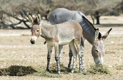 Baby and adult Somali wild donkey (Equus africanus) Stock Image