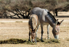 Baby and adult Somali wild donkey Equus africanus in nature reserve near Eilat, Israel Stock Image