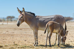 Baby and adult Somali wild donkey Equus africanus in nature reserve near Eilat, Israel Royalty Free Stock Images