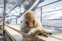 Baby-Affe, der auf Snowy-Weg sitzt Stockfoto
