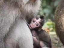 Baby-Affe, der von der Mutter in Ubud-Wald, Bali, Indonesien einzieht Stockbilder