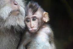 Baby-Affe-Stillen, Ubud, Indonesien Lizenzfreie Stockfotos