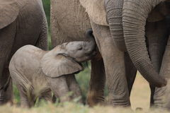 Baby Afrfican Elephant Calf. Between the legs of its mother and minders stock photo