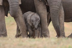 Baby Afrfican Elephant Calf. Between the legs of its mother and minders stock photos
