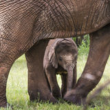 Baby Afrfican Elephant Calf between the legs of its mother and m Royalty Free Stock Photo