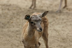 Baby African antelope in zoo Royalty Free Stock Image