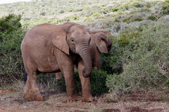 Baby African Bush Elephant. The African bush elephant is the larger of the two species of African elephant. Both it and the African forest elephant have in the royalty free stock image