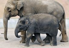 Baby African elephant Royalty Free Stock Photos