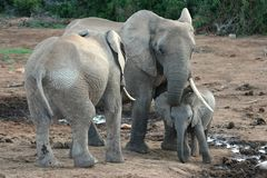 Baby African Elephant Stock Images