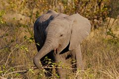 Baby African elephant Stock Photography