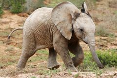 Baby African Elephant. Playful baby African elephant running acroos the veld royalty free stock photography
