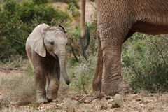 Baby african elephant Stock Image