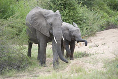 Baby African elephant with adult in natural habitat Stock Images