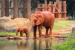 A baby african elephant calf drink  its father Stock Image