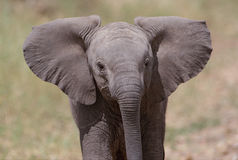 Baby African Elephant Close-Up. Baby African Elephant walking peacefully in the savannah royalty free stock photography