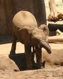 A Baby African Elephant Cools Off Stock Photo