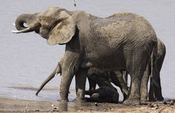 Baby African elephant down under where there is shade. Stock Image