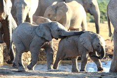 Baby African Elephant Friends Stock Photo