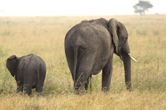 Baby african elephant with his mother Stock Images