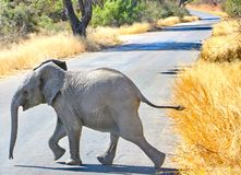 A baby african elephant, Kruger National Park royalty free stock photos