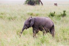 Baby African elephant Loxodonta africana in Serengeti National Park, Tanzania Royalty Free Stock Image