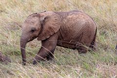 Baby African elephant in the Masai Mara, Kenya stock photography