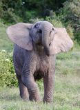 Baby African Elephant Stock Photos
