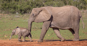 Baby African Elephant and Mom Royalty Free Stock Photos