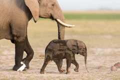 Baby African Elephant with mother in Amboseli, Kenya. Baby African Elephant with mother in Amboseli National Park, Kenya Royalty Free Stock Photography