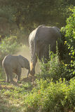 Baby african elephant with mother Royalty Free Stock Image