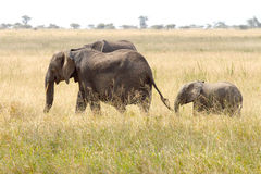 Baby african elephant with the mother Stock Image