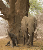 Baby African Elephant with mother. Baby African Elephant (Loxodonta africana) with mother, getting up after a sleep Royalty Free Stock Image