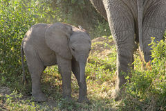 Baby african elephant near the mother Stock Image