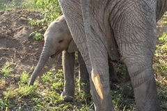 Baby african elephant near the mother Royalty Free Stock Photo