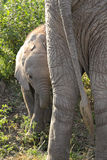 Baby african elephant near the mother Royalty Free Stock Images