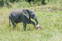 Baby African Elephant Paying Respects To Elephant Scull Stock Images