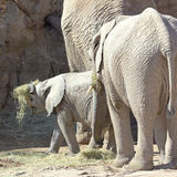 A Baby African Elephant Plays with Hay Stock Photos