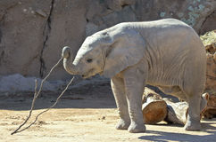 A Baby African Elephant Plays with a Stick Stock Photography