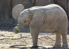 A Baby African Elephant Plays with a Stick Stock Images