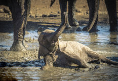 Baby African Elephant Rolls and Plays in a Water Hole Stock Photography