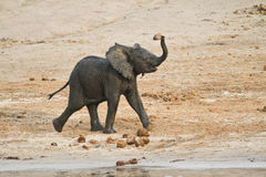 Baby African Elephant running. Running and playing baby african elephant with trunk raised and ears flapping along river shore. Photographed Chobe National Park royalty free stock photos