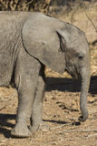 Baby African Elephant side profile Stock Photos