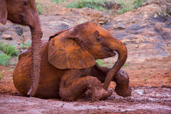 Baby African Elephant Skidding In Mud Bath Stock Image