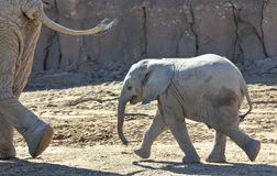 A Baby African Elephant Trots After its Mother Stock Photo