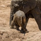 Baby African Elephant 26. An unsteady Elephant calf trying to climb a bank Royalty Free Stock Photography