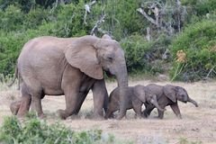 Baby African Elephants and Mom Royalty Free Stock Photography