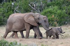 Baby African Elephants and Moms Stock Photography
