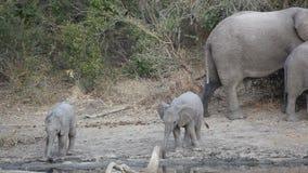 Baby African elephants stock footage