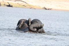 Baby african elephants Stock Photos